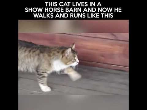 THIS CAT LIVES IN A SHOW HORSE BARN AND NOW HE WALKS AND RUN - #Cats