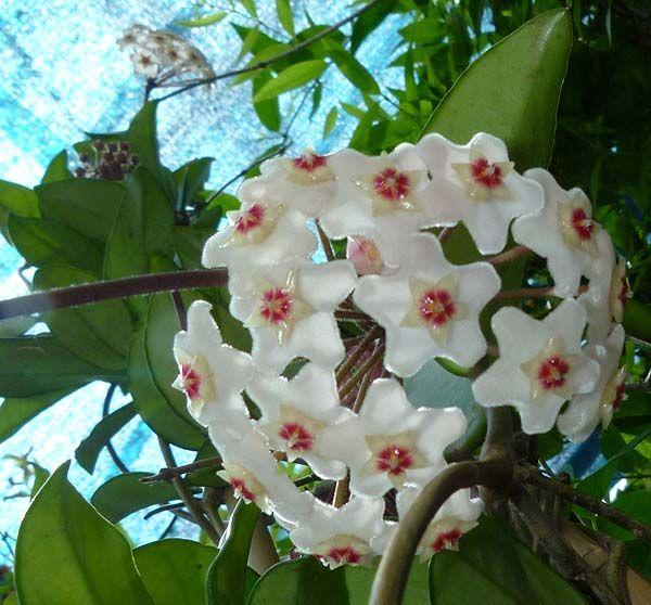 """Hoya carnosa detta anche """"fiori di cera"""""""