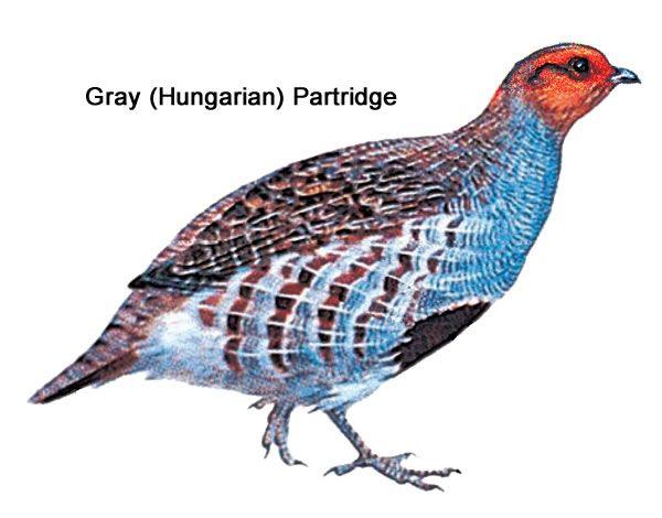 Upland Bird Hunting - Gray (Hungarian) Partridge | Washington ...