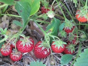 how to grow big strawberries in texas