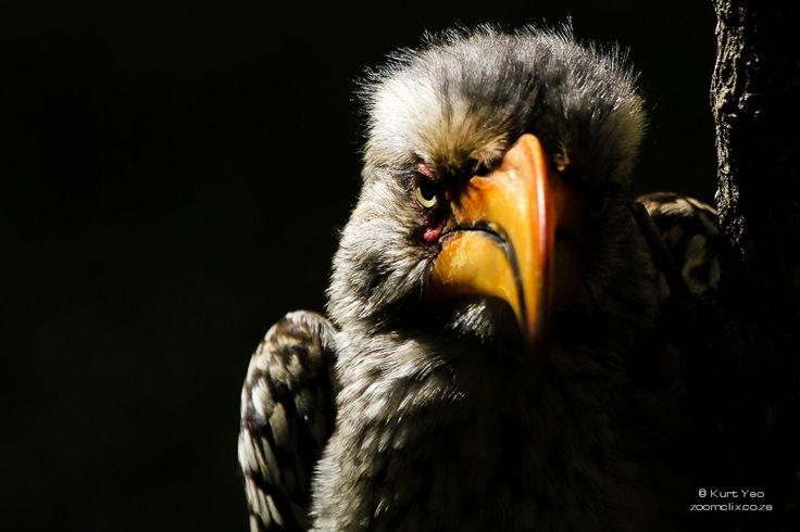 Angry Yellow Billed Hornbill