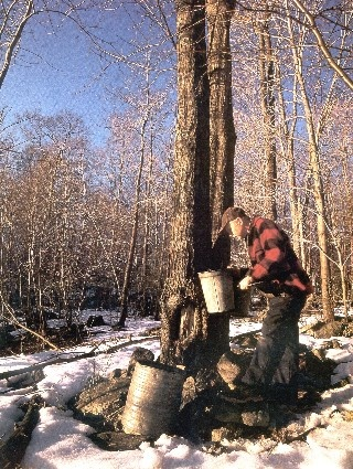 tapping the maple trees