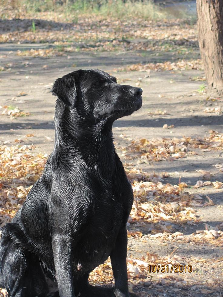Daisy Doo Labrador retriever, Labrador, Dogs