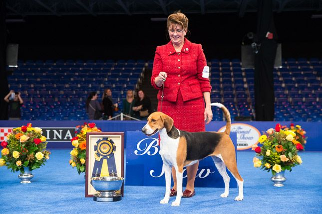 American Foxhound Jewel became the first hound to win the 2013 National Dog Show Presented by Purina. Check out our photo gallery to see what happened in the ring.