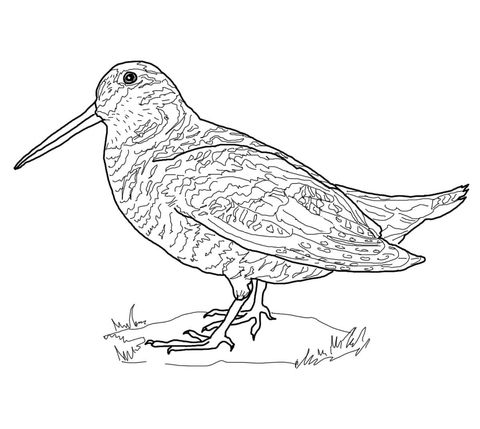 American Woodcock Coloring Page Bird BookPrintable