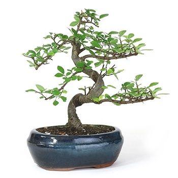 Bonsai - Miniature Chinese Elm Bonsai Tree