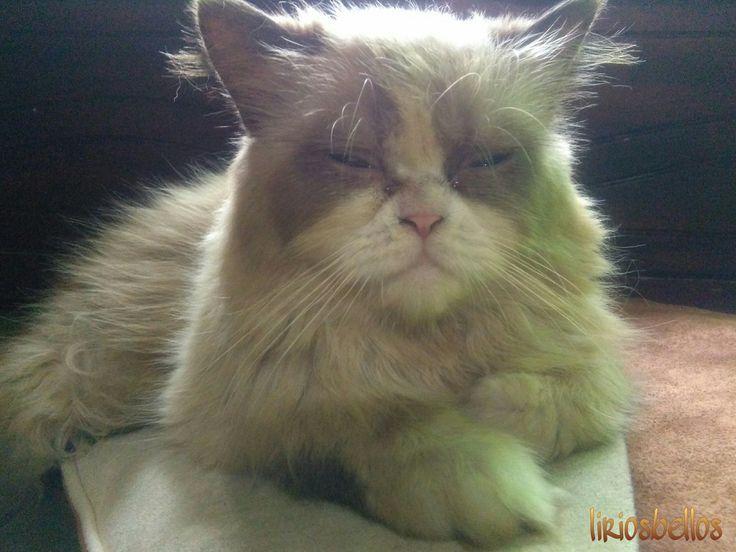 #Cat #photography  #fromCostaRica  #SherlockCat #mycat #purelife  #sweet #persiancat