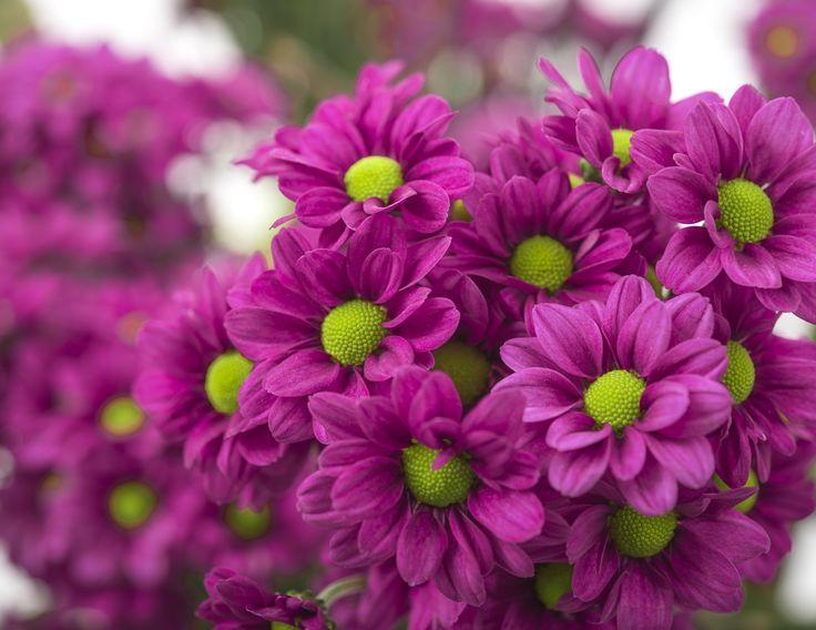 Jombe Purple