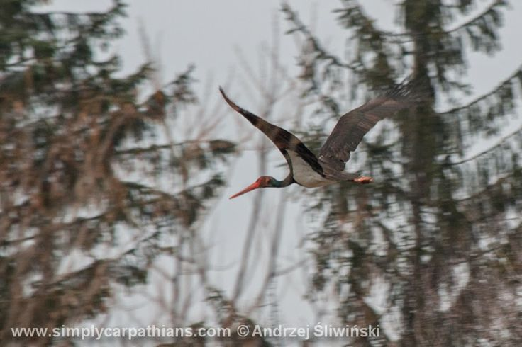 through geographer's eyes: The black stork