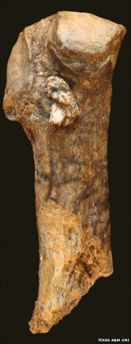 A projectile point dating to 13,800 years ago, found embedded in amastodonbone, precedesClovis hunters, the culture often thought as the first to roam the Americas.