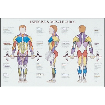 charts & posters exercise / muscle chart - laminated | multimedia, Muscles