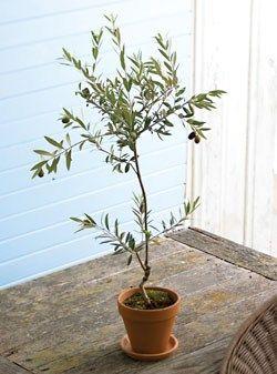 Tuscan Olive Tree: Decoratorsdecor Interiordesign, Decor Ideas, Indoor Olives Trees, Tuscan Olives, Interiors Design, Entrance Ideas, Design Stairca, Rooms Decor, Decor Accessories