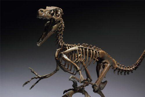 Amazon.com: Skeleton Model series Velociraptor (41 cm PVC ...