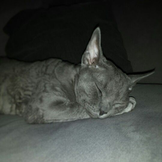 Devon Rex Whimsy 1 year old