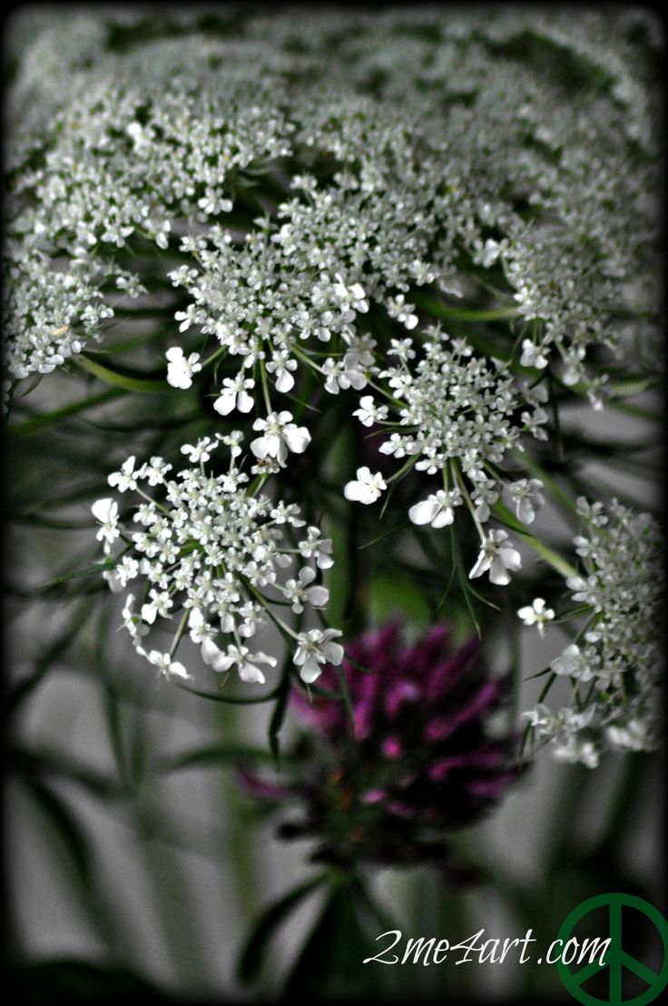 Queen Ann's Lace & Red clover