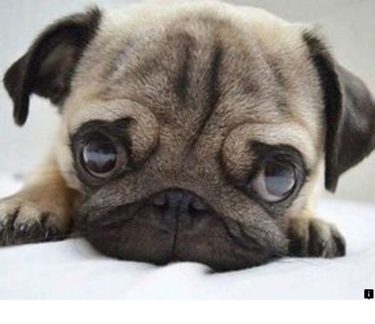 Want To Know More About Pug Rescue Near Me Simply Click Here To