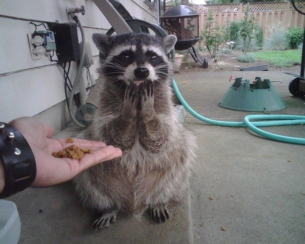 "A delighted raccoon who is saying, ""For me???"" 