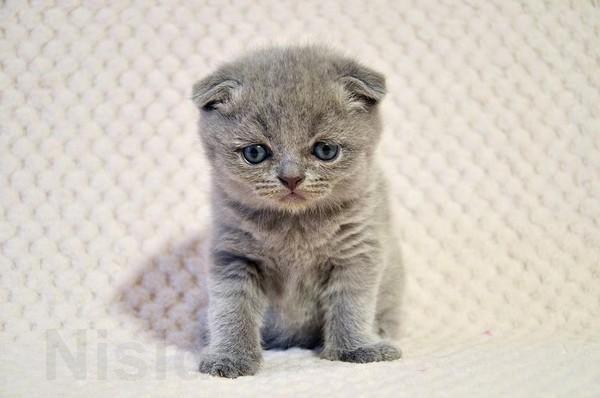 Шотландские вислоухие котята - Изображение 1