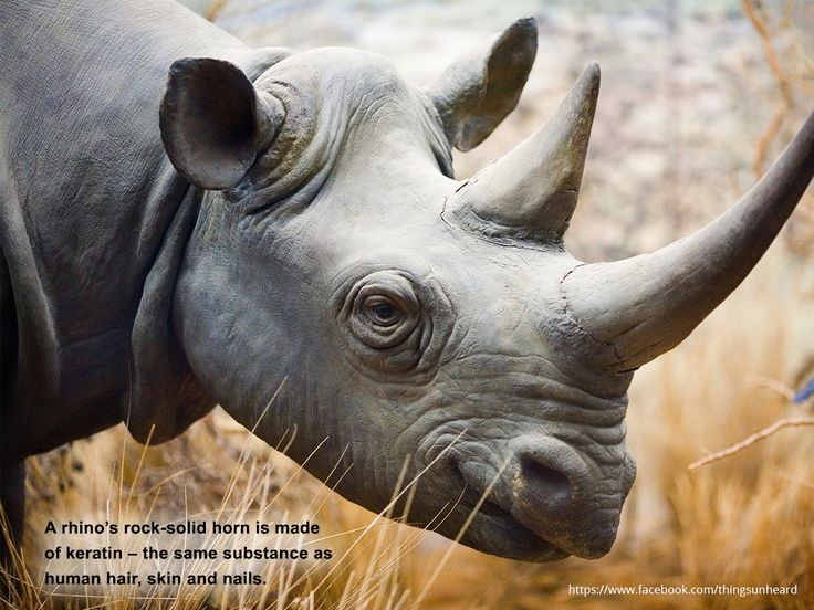 A rhino's rock-solid horn is made of keratin – the same substance as human hair, skin and nails.