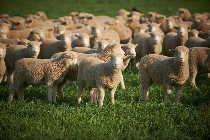 Australian Sheep Breeds - Some possess the natural born ability while most others take time to understand the skill. Some can see how colors combine perfectly like coffee and milk. It's interior designing. However, you don't have to be a good arts graduate or possess an interior designer degree...