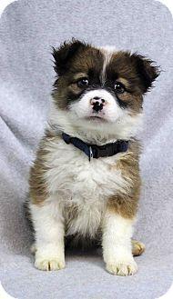 Westminster, CO - Australian Shepherd Mix. Meet ZORO, a puppy for adoption. http://www.adoptapet.com/pet/17894896-westminster-colorado-australian-shepherd-mix