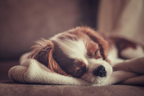 I'm napping.: Sleepy Time, Dogs Photography, Charles Cavalier, Naps Time, Cavalier King Charles, Sweet Dreams, Animal, King Charles Spaniels, Furry Friends
