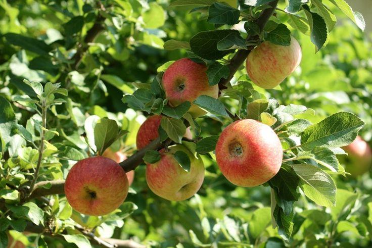 Unsere Äpfel pflücken wir selbst | kraut & rüben