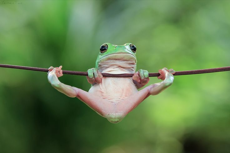 """""""Gymnastics"""" photo by yensen tan ==== treefrog is also known as the dumpy frog and Australian green tree frog Litoria caerulea."""