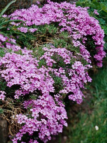 Moss Phlox Perfect for rock gardens, alongside paved areas, the front of raised perennial gardens, or as a ground cover on a slope, moss phlox forms a dense, creeping mat up to 6 inches high and 2 feet wide. The small leaves are slightly prickly, and the entire plant is covered with fragrant white, pink, blue, lavender, or red flowers in spring. The foliage is semi-evergreen in the North and evergreen in the South.