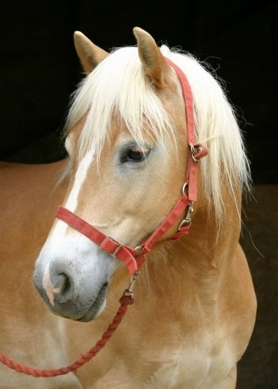 HAFLINGER... When I saw him, I fell in love with him at the moment. It was love at first sight. And so I decided that today we say something more about the Haflinger horse breed. This is a horse who is justifiably called: golden horse with a golden heart.