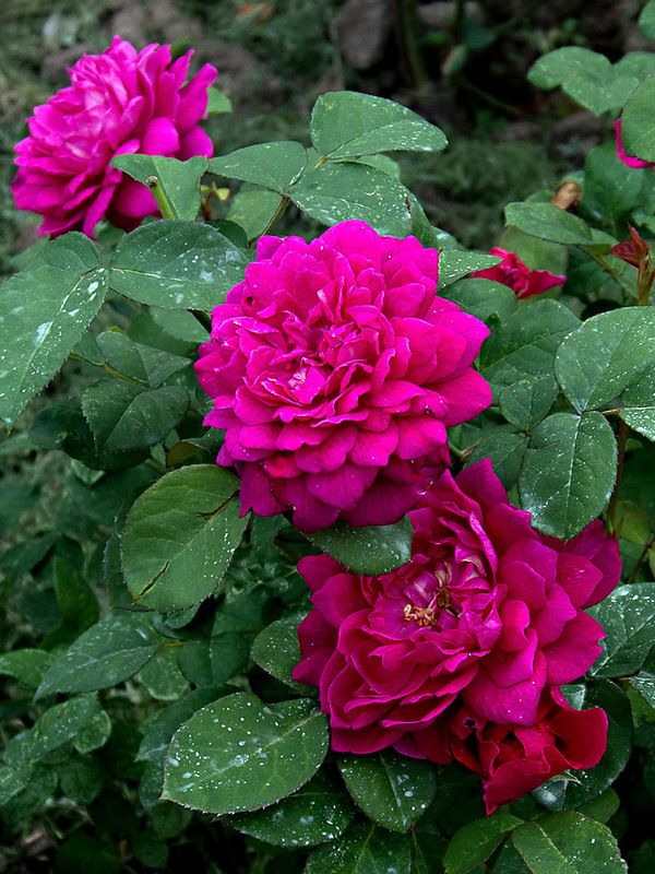 'Sophy's' Rose | Shrub.  English Rose Collection. Austin 1997 | @ Oliver