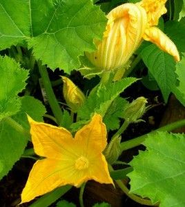 How to grow a vertical upright squash plant and other vines in a small garden space » The Homestead Survival