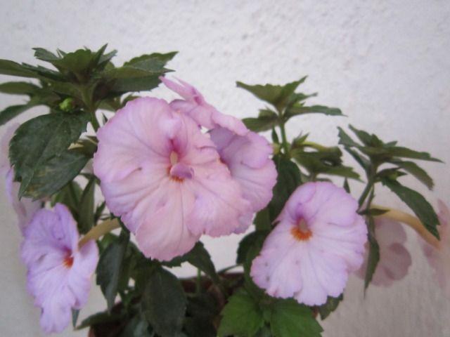 Big Weiss Ахименес (Achimenes) - Страница 8 - Форуми за цветя FlowersNet.info
