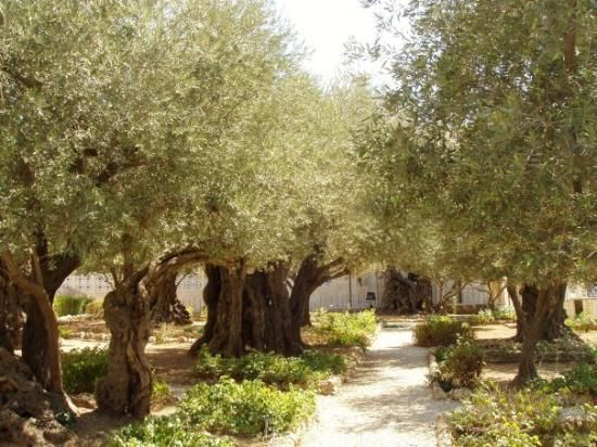 Garden of Gethsemane, Jerusalem.  2,000 year old olive trees that heard the prayers of Jesus and saw His arrest.