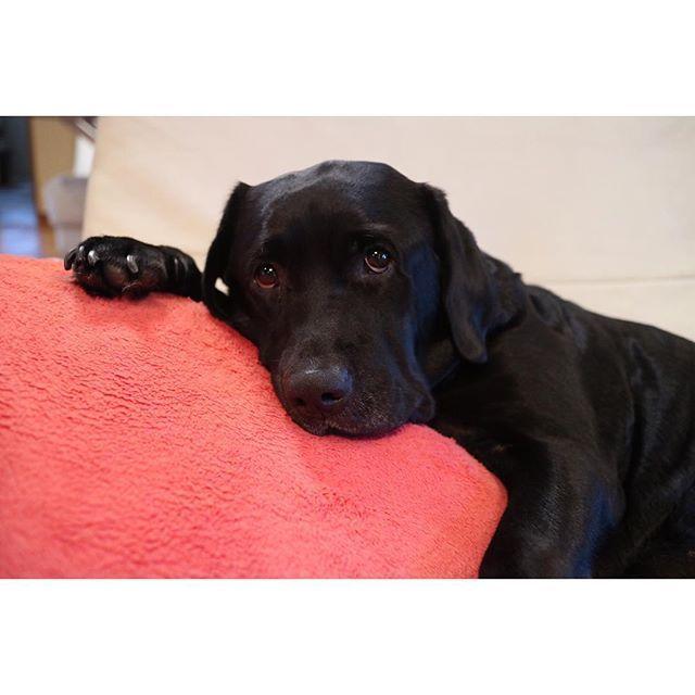 このクッション最近のお気に入りらしい は〜可愛い . . 一昨日背中の骨気をやってもらったら 肩甲骨周りにものすごいアザ 筋肉痛とアザで身体中が痛い しかも風邪気味 息子も調子悪そうでグズグズ。 今日は熟睡出来ますように . . ロンハー観たら私も寝よう . . #labrador#labradorretriever#lab#blacklab #ラブラドール#ラブラドールレトリバー#ラブ#黒ラブ #dog#love#dogstagram#dogs_of_instagram #retriever#retrieversgram#愛犬#犬#家族#癒し #canon#canoneos#eos#eosm3