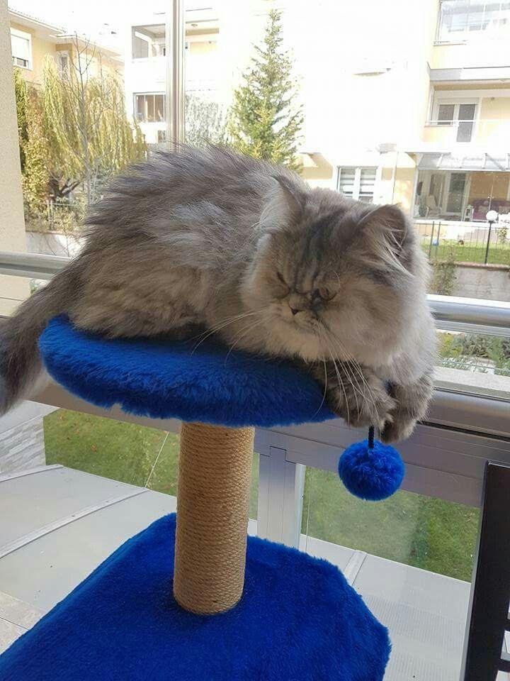İran kedisi Balım  Tatlı kızım