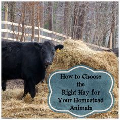 Hay is the most commonly used forage for ruminant animals not on pasture. Different types of grasses can be classified as hay, along with legumes.