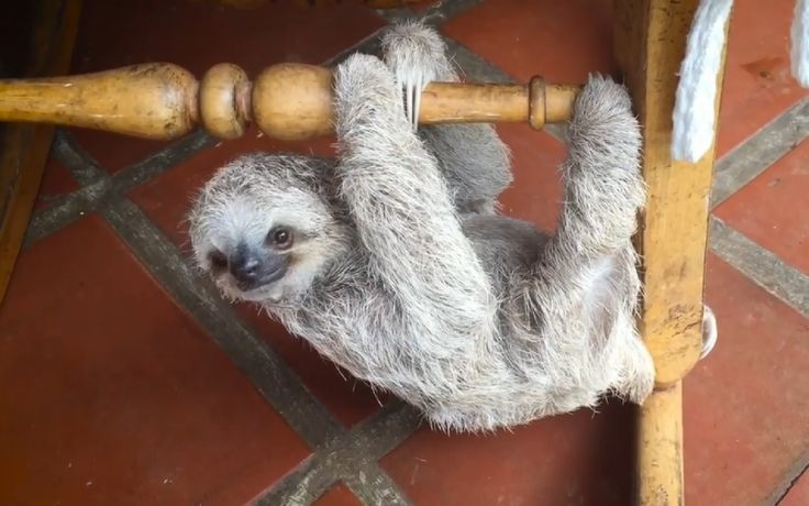 Brilliant Sloth Rescue Helps Orphaned Babies Learn to Climb Using Rocking Chairs (VIDEO)