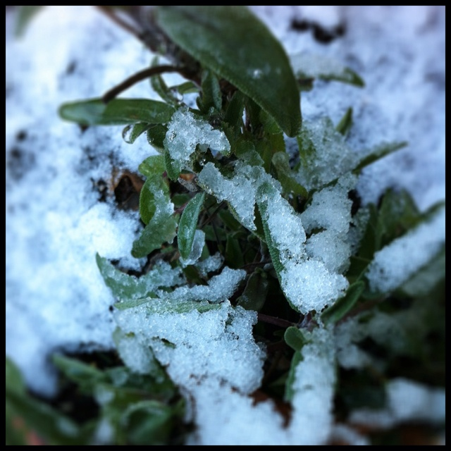 Snow on sage -- March 1, 2012 in Portland, OR. (Image by Malka Youngstein)