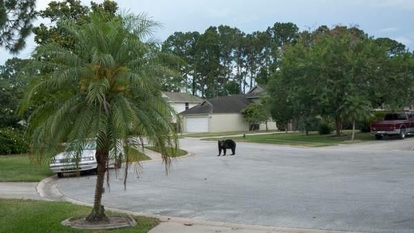 Bear wanders through beach neighborhood, then relaxes in hammock - WBTW-TV: News, Weather, and Sports for Florence, SC