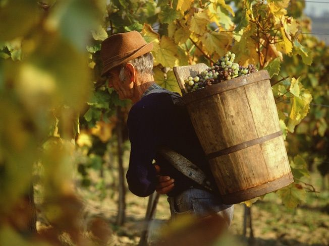 Harvesting the grapes at Tokaj--Google Image Result for http://m.blog.hu/to/tokajiborvidek/image/tokaj2.jpg