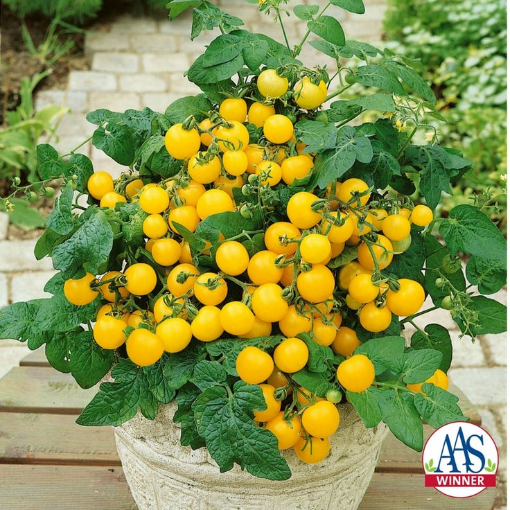 tomato patio choice yellow f1