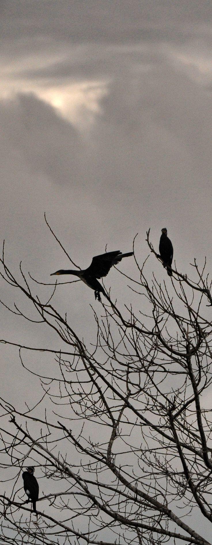 Cormorani su alberi al Biscottino (Livorno), lungo la Via dell'Arnaccio. 15/02/2015 Nikon D300 - obbiettivo Nikon 200/400 f/4 - f/4 1/8000 sec. ISO-640 - #guidofrilli - Cormorano - Phalacrocorax carbo