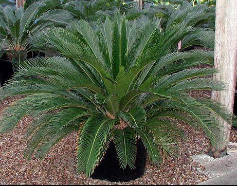 Sago Palm Arizona Google Search Mooi Wat Planten Doen