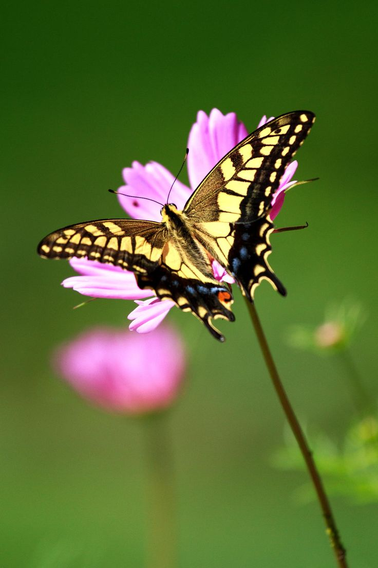 Beautiful swallowtail butterfly had stopped in the cosmos.