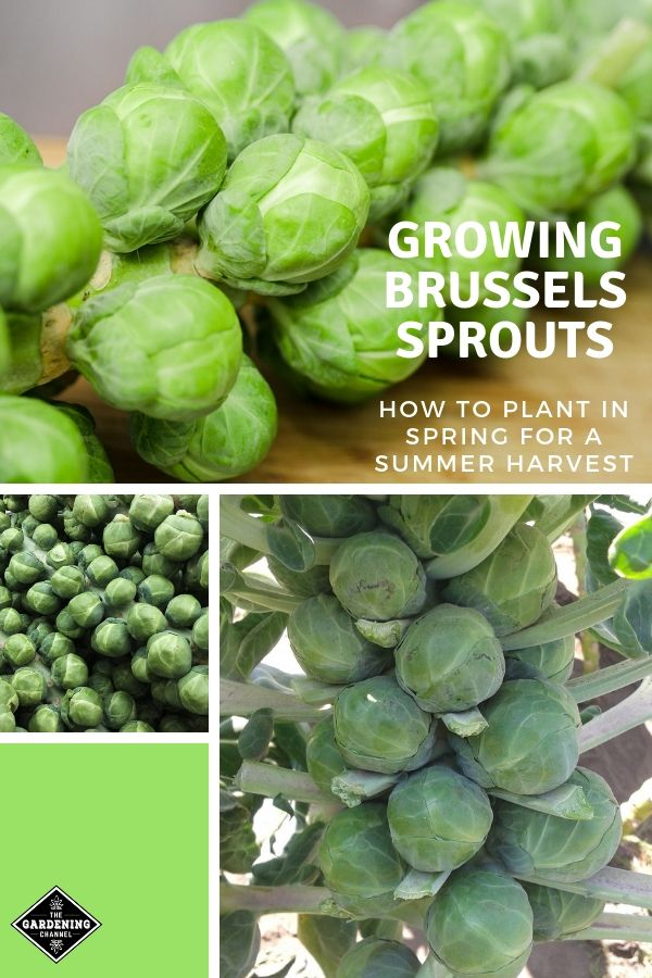 Hot To Grow And Harvest Cool Season Brussels Sprouts Planting