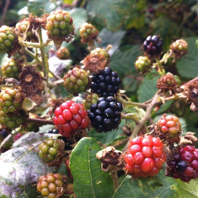 Blackberry season soon...
