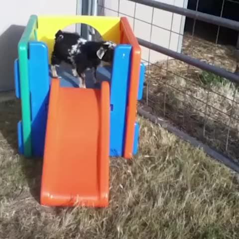 LOL... Can't stop watching... The best part is that it is a fainting goat.  |   Vine by America's Funniest Home Videos