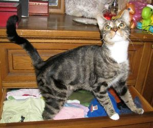 Sally ADOPTED! is an adoptable Domestic Short Hair Cat in Pennington, NJ. I'M ADOPTED! One-year old Sally is very playful & curious.� She has a snowy white bib and four white paws that set off her bea...