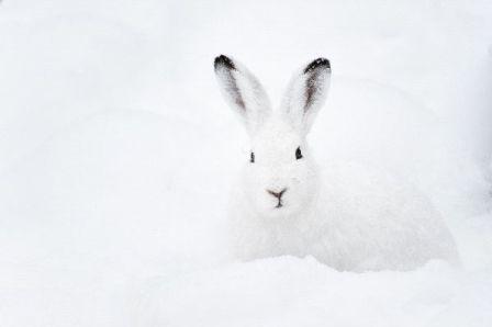 liebre articaDescripción. La liebre ártica tiene orejas mucho más altas que otras especies de conejos, pero más pequeñas en general, para ay...